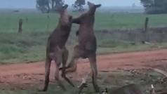 Pelea a puñetazos entre dos canguros: ¿Estamos ante el Fury vs Wilder del boxeo marsupial?
