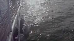 El susto del día: Un tiburón blanco de 9 metros emerge bajo los pies de un científico
