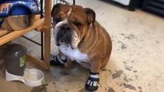 """Lewis Hamilton y su perro influencer: """"Roscoe probándose zapatos nuevos"""""""