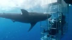 Vídeo denuncia: Cruel y sangrienta muerte de un tiburón  blanco incrustado en una jaula de buceadore