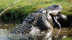 Cómo un cocodrilo devora a otro