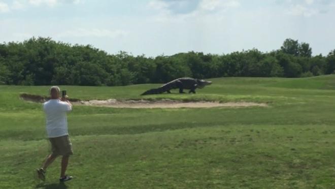 Captan a cocodrilo gigante en campo de golf de Florida