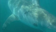 """Un gran tiburón ataca un kayak: """"Lo mordió como si se fumase un puro"""""""