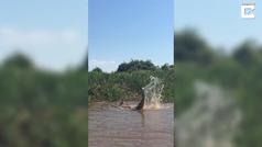 Pelea entre un caimán y un jaguar en Brasil
