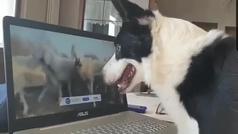 Teletrabajo para perros pastores