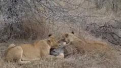 Dos leonas devoran a un jabalí cuando son atacadas por hienas