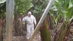 La ceniza cubre las plantaciones de plátano en La Palma
