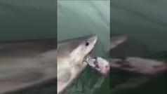 Un enorme tiburón blanco arrastra un barco tras morder su anzuelo