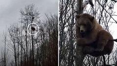 Si alguna vez huyes de un oso... no estarás a salvo en un árbol: ¡este trepa más de 15 metros!