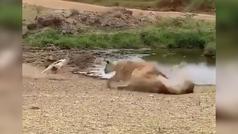 El regate de este antílope que le salva la vida se hace viral: ¿dónde va el león?