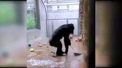 El chimpancé que barre su jaula