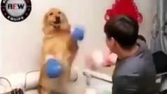 Un hombre pone a boxear a su perro