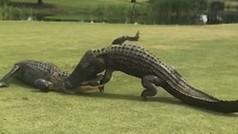 Pelea a muerte entre dos cocodrilos en el hoyo 18 de un campo de golf