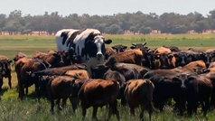 Knickers, la vaca gigante de dos metros de altura