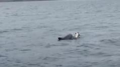 Un delfín trata desesperadamente de salvar a su cría