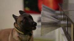 Perros entrenados para detectar positivos en coronavirus