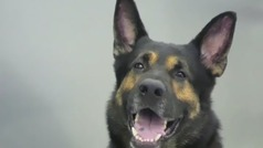 ¿Podrían perros entrenados detectar el Covid-19 en los aeropuertos?