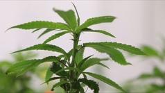 El consumo recreativo de marihuana ya es legal en Canadá