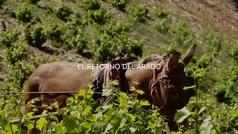 El arado romano tradicional se impone al diésel en la producción vinícola